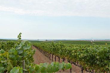 Genny's Vineyard