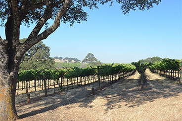 Naggiar Vineyard