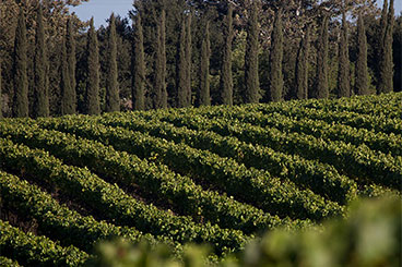 Rosella's Vineyard