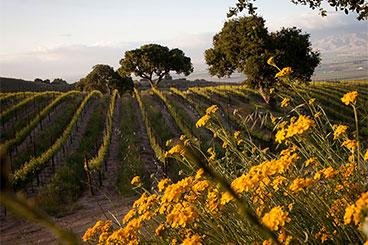Sierra Mar Vineyard