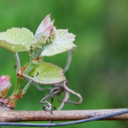 Vineyard Photography